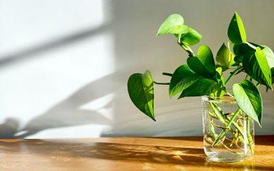Le pothos, ou la plante increvable